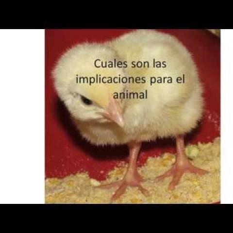 SINA Biofarma, PhD. Clara Roselina Angel: Uso de fitasas en avicultura, actualización